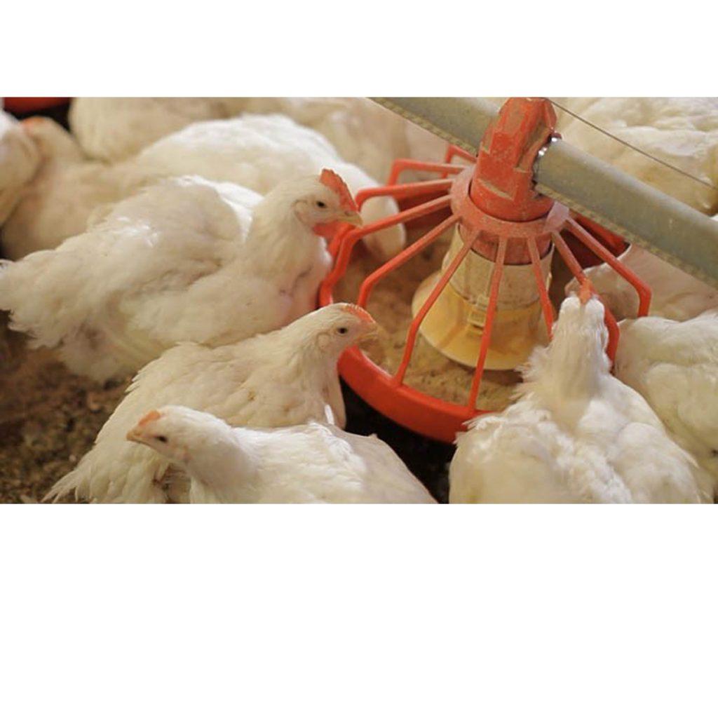استفاده از گوشت و استخوان در رژیم های غذایی طیور